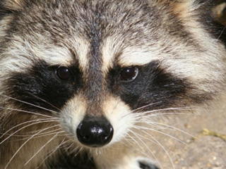 Raccoon and Possum Control